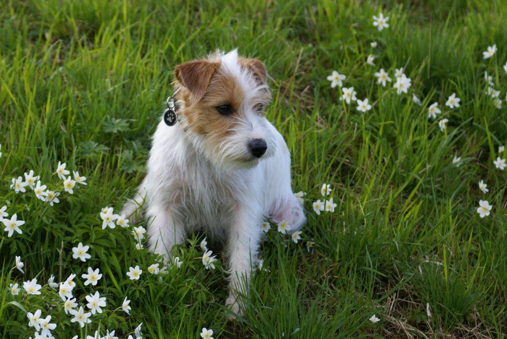 ジャックラッセルテリアは初心者向けの犬ではない!性格と飼い方を解説