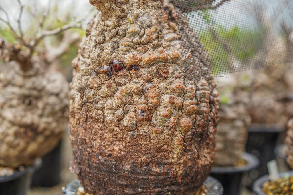 【初心者向け】コーデックス(塊根植物)のオススメの種類を紹介!