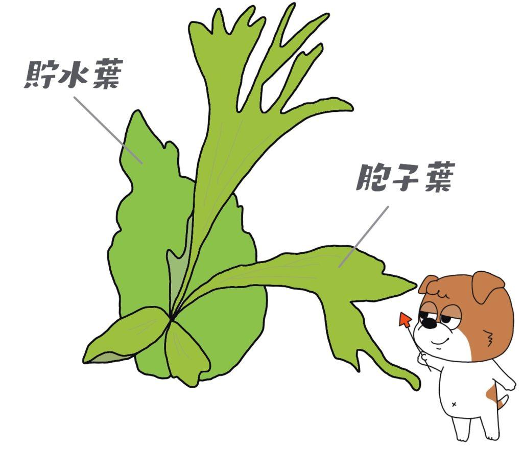 ビカクシダの葉は2種類ある