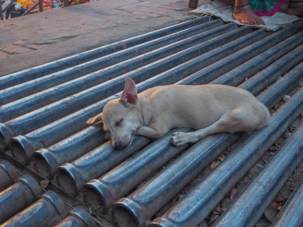 どこでも寝られるインド犬