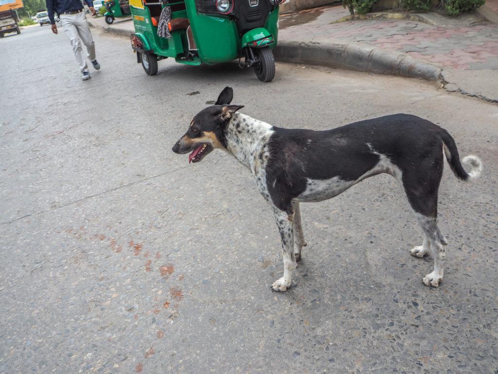 人間と普通に共存してる!?インドの犬が自由すぎる。基本寝てるよ。