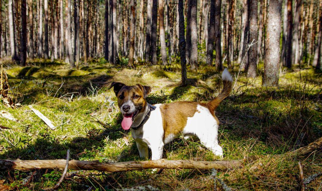 ジャックラッセルは元々狩猟犬として活躍していた犬種なので、陸では本領を十分に発揮できます