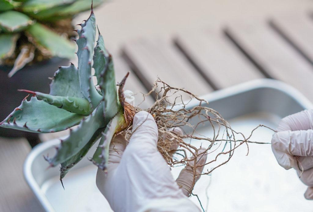 枯れた根を取り除きます。