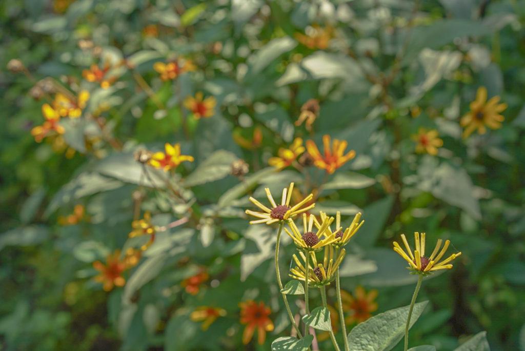 花が独特。たんぽぽではないけど、かわいい。