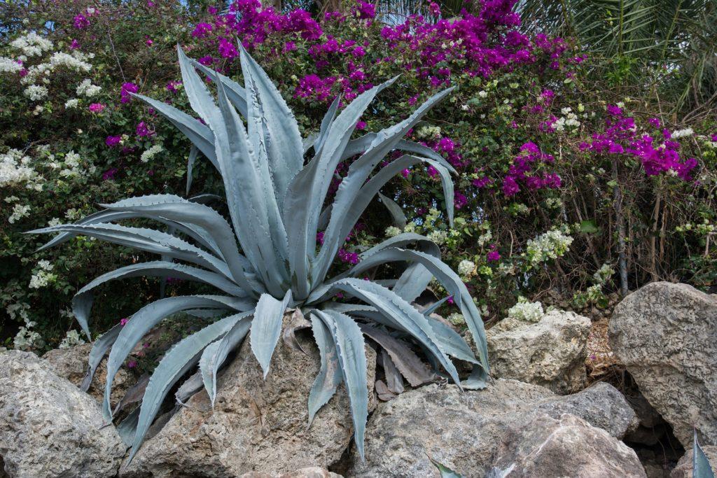 【事実】アガベの地植えは「想像以上」によく育つ【冬越しや雪に耐える品種や用土とは】