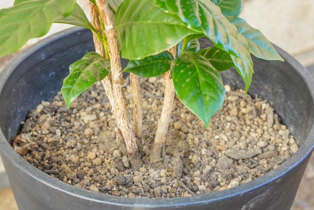 あと弱った枝は問答無用でバシバシ剪定していって、内側の葉にも日光が当たるようにスッキリさせよう。